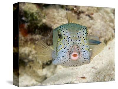 Adult Yellow Boxfish (Ostracion Cubicus) Which Begins Life as a Bright Yellow Juvenile, Malaysia