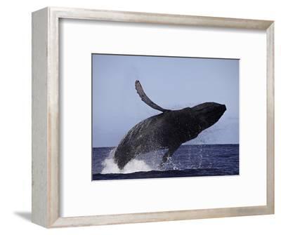 Breaching Humpback Whale (Megaptera Novaeangliae), Hawaii, USA