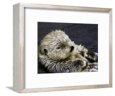 California Sea Otter (Enhydra Lutris), California, USA