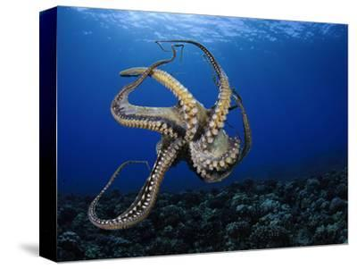 Day Octopus (Octopus Cyanea), Hawaii, USA