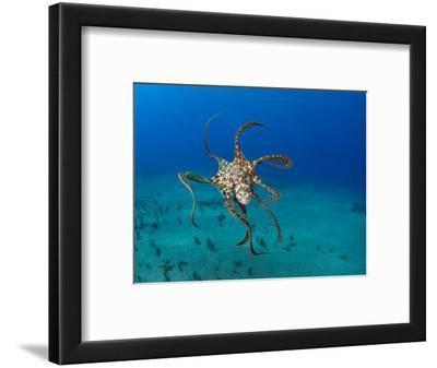 Day Octopus Swimming (Octopus Cyanea), Hawaii