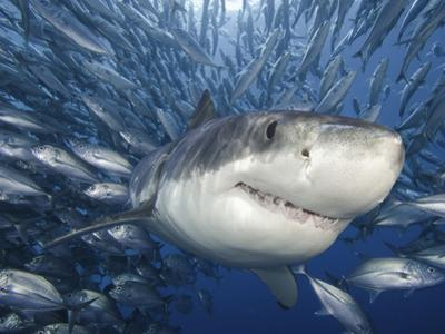Great White Shark (Carcharodon Carcharias) Swimming Through a School of Smaller Fish by David Fleetham