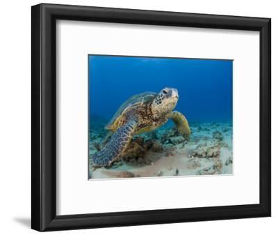 Green Sea Turtle (Chelonia Mydas), an Endangered Species, Hawaii, USA
