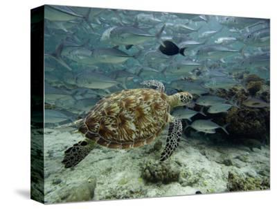 Green Sea Turtle (Chelonia Mydas) Swimming Among Schooling Jacks, Malaysia