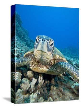 Green Sea Turtle Head (Chelonia Mydas), an Endangered Species, Hawaii, USA