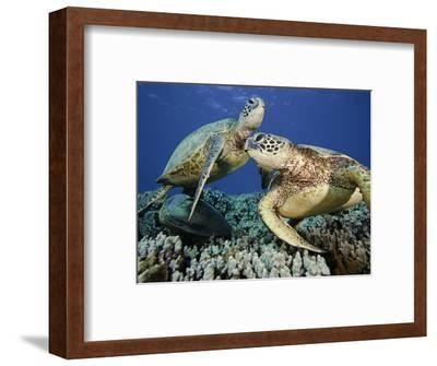 Green Sea Turtles (Chelonia Mydas), an Endangered Species, at a Cleaning Station Off Maui, Hawaii