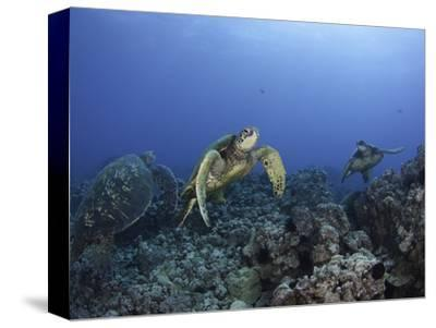 Green Sea Turtles Swimming over a Reef (Chelonia Mydas), an Endangered Species, Hawaii, USA
