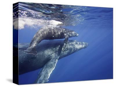 Humpback Whale Mother and Calf (Megaptera Novaeangliae), Maui, Hawaii, USA