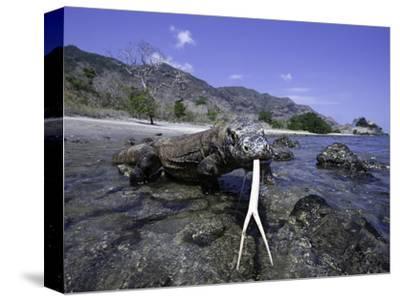 Komodo Dragons (Varanus Komodoensis) are the Worlds Largest Lizards, Rincisland, Komodo Np