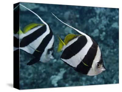 Pennant Bannerfish (Heniochus Chrysostomus), Hawaii, USA