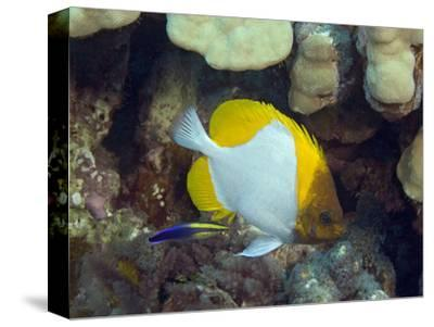 Pyramid Butterflyfish (Hemitaurichthys Polylepis) and an Endemic Hawaiian Cleaner Wrasse