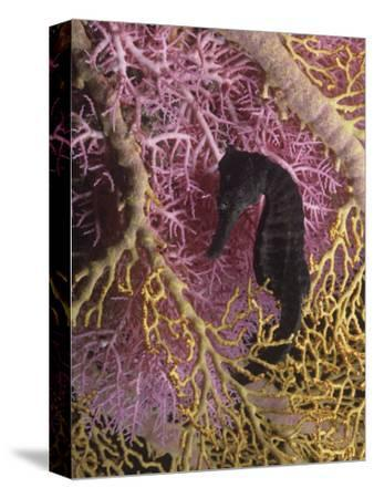 Seahorse, Hippocampus Kuda