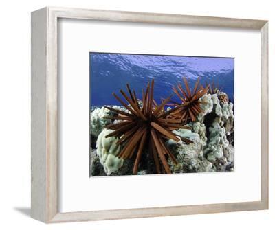 Slate Pencil Sea Urchins (Heterocentrotus Mammillatus)