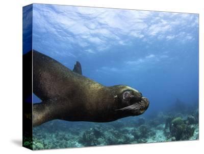 South American Sea Lion or Southern Sea Lion (Otaria Flavescens), Captivity
