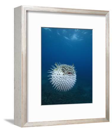Spotted Porcupine Fish (Diodon Hystrix), Maui, Hawaii, USA