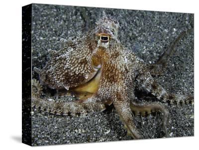 The Endemic Short-Armed Sand Octopus (Amphioctopus Arenicola), Maui, Hawaii, USA