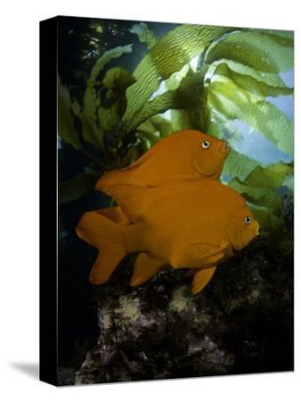 The Garibaldi (Hypsypops Rubicundus) Is the State Fish of California