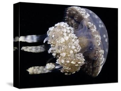 The Stinging Spotted or Lagoon Jellyfish (Mastigias Papua), Raja Ampat, Indonesia