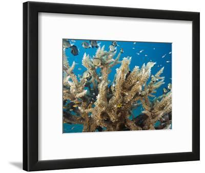 This Delicate Hard Coral (Acropora Subglabra) with a School of Damselfish