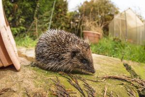 Hedgehog (Erinaceinae), Durham, England, United Kingom, Europe by David Gibbon