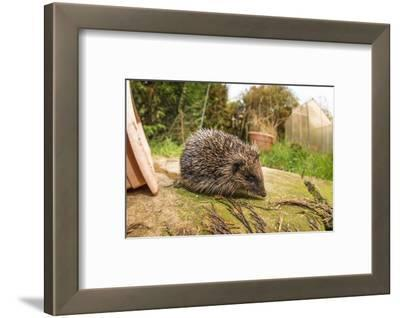 Hedgehog (Erinaceinae), Durham, England, United Kingom, Europe
