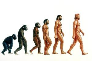 Stages In Human Evolution by David Gifford