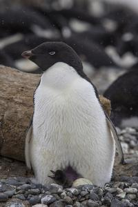 A Nesting Adelie Penguin, Pygoscelis Adeliae, with a Newly Hatched Chick on Brown Bluff by David Griffin