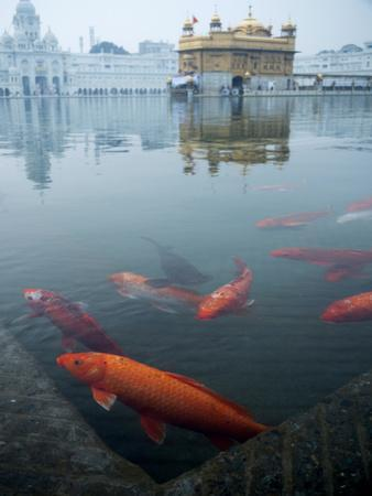 Fish in Lake Against Golden Temple in Amritsar, Punjab, India