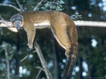 Bamboo Lemur, Feeding on Bamboo-David Haring-Framed Photographic Print