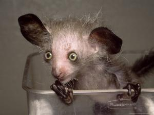 Hand-Reared Aye-Aye in Container Looking Around, Duke University Primate Center by David Haring