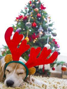 Sleeping Beagle Dog Wearing Christmas Antlers by David Harrigan