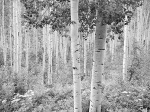 An Aspen Grove Adjacent to Highway 82, Eight Miles East of Aspen by David Hiser