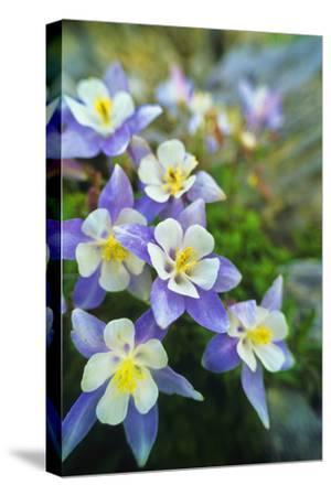 Blue Columbine, Aquilegia Coerulea, the Colorado State Flower