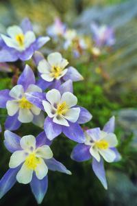 Blue Columbine, Aquilegia Coerulea, the Colorado State Flower by David Hiser
