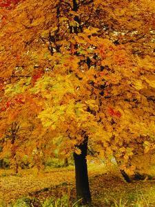 Ash Tree, Autumn Foliage, Peak District National Park, Derbyshire, England, UK, Europe by David Hughes