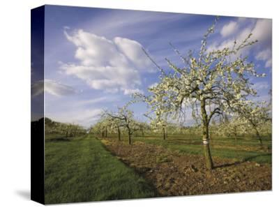 Blossom in the Apple Orchards in the Vale of Evesham, Worcestershire, England, United Kingdom