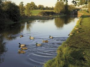 Ducks Swimming in the Worcester and Birmingham Canal, Astwood Locks, Hanbury, Midlands by David Hughes