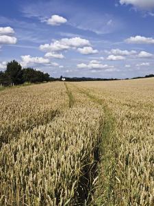 Farmland of Cornfield Ripening, England, United Kingdom, Europe by David Hughes