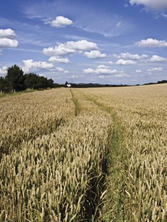 Farmland of Cornfield Ripening, England, United Kingdom, Europe by David Hughes