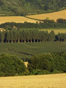 Hops, Darent Valley, Near Shoreham, Kent, England, United Kingdom, Europe by David Hughes