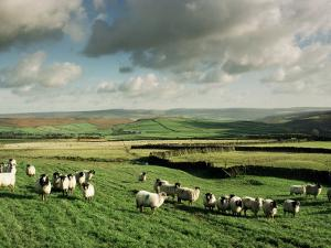 Sheep on Abney Moor on an Autumn Morning, Peak District National Park, Derbyshire, England by David Hughes