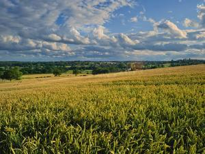 Wheatfield, Warwickshire, England, United Kingdom, Europe by David Hughes
