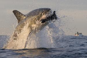 Great White Shark (Carcharodon Carcharias) by David Jenkins