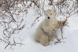 Polar Bear Cub (Ursus Maritimus), Wapusk National Park, Churchill, Hudson Bay, Manitoba, Canada by David Jenkins
