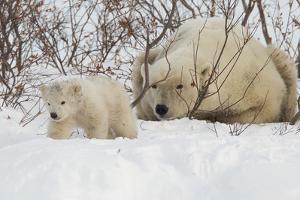 Polar Bear (Ursus Maritimus) and Cub, Wapusk National Park, Churchill, Hudson Bay, Manitoba, Canada by David Jenkins