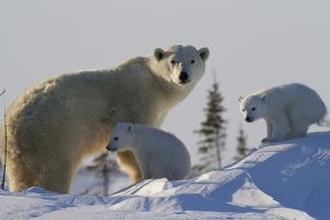 Polar Bear (Ursus Maritimus) and Cubs, Wapusk National Park, Churchill, Hudson Bay, Canada by David Jenkins