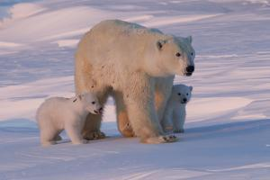 Polar Bear (Ursus Maritimus) and Cubs by David Jenkins