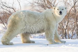 Polar Bear (Ursus Maritimus), Wapusk National Park, Churchill, Hudson Bay, Manitoba, Canada by David Jenkins