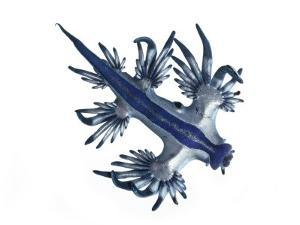 A Glaucus nudibranch camouflaged in blue and silver by David Liittschwager