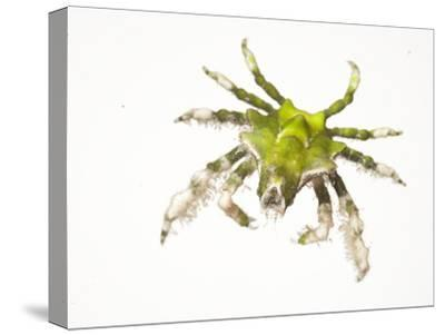 A Halimeda Crab Collected from a Sample of Coral Reef